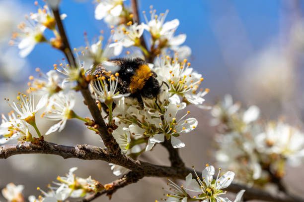 Closeup of a bumblebee sucking nectar from a flowering tree in picture id1275613311?b=1&k=6&m=1275613311&s=612x612&w=0&h=qz 2yaigfn4l9zfutkyzmhuvqf8t5ychziszk9hjgcu=