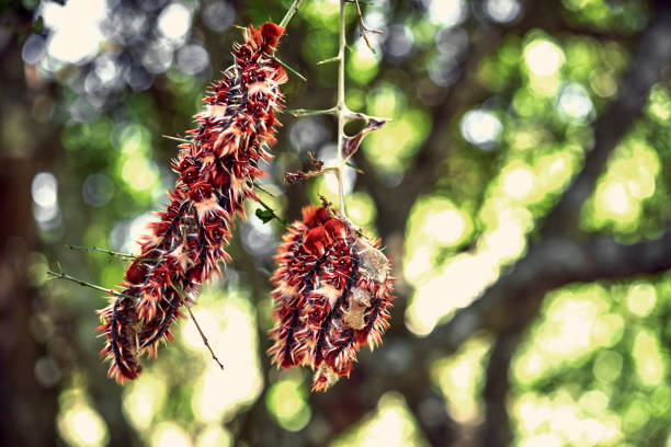 Close-up of a bunch of Caterpillars of Argentinian flag butterfly (Morpho epistrophus argentinus) hanging of a crown tree (Scutia buxifolia). stock photo