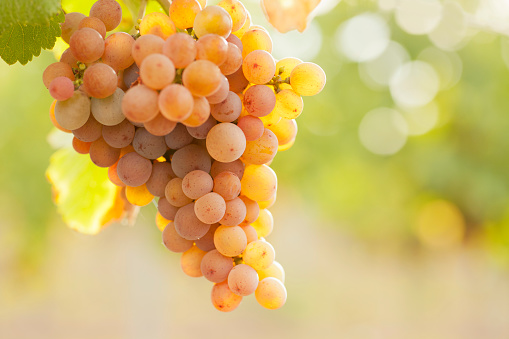 Close-up of a bunch of grapes of rose wine in a vineyard in the morning sun