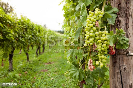 A bunch of green grapes are hanging from a vine at a vineyard.  The farm is located in Oregon. A wooden post can be seen in the foreground, which is part of a supporting trellis system.