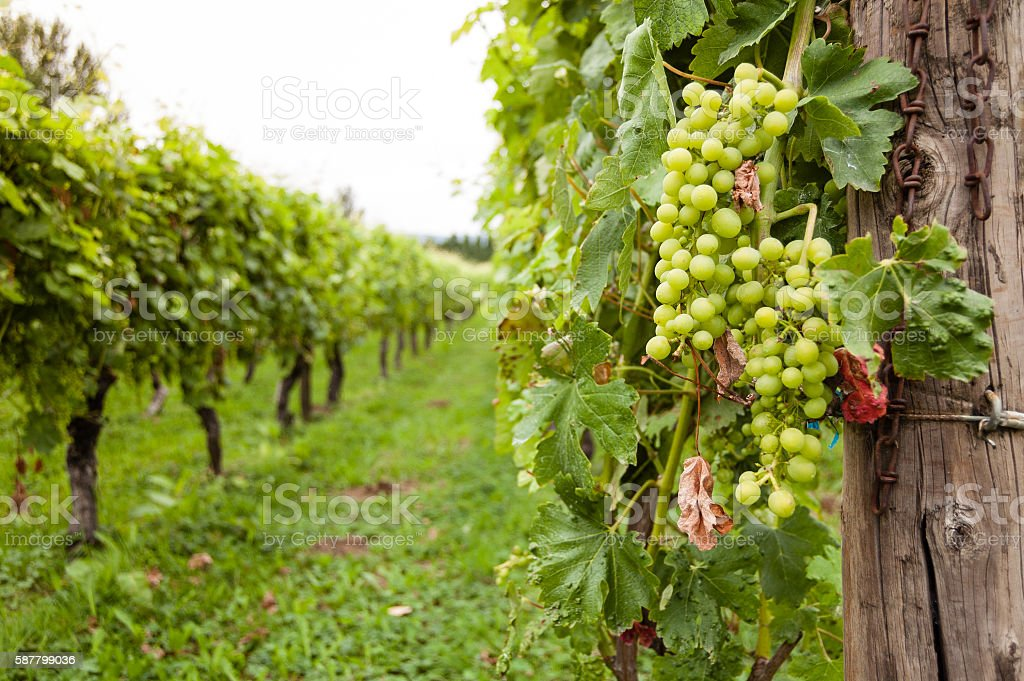 Close-up of a bunch of green grapes in a vineyard stock photo