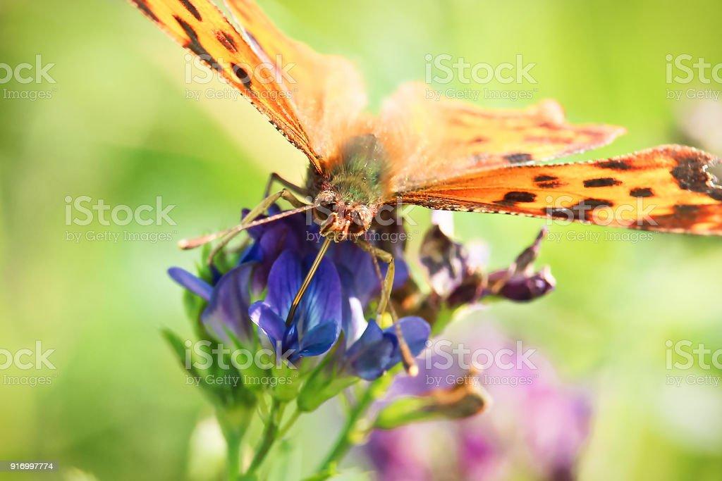 Closeup of a butterflies proboscis feeding on a flower stock photo