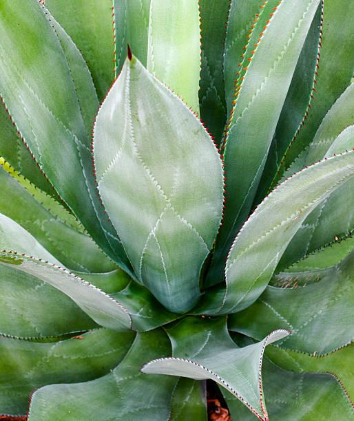 Closeup of a cactus stok fotoğrafı