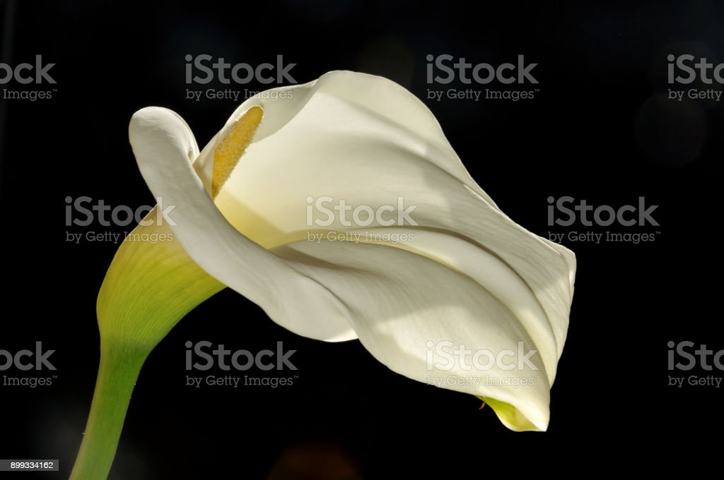 Close-up of a Calla Lily with black background stock photo