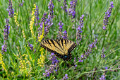 istock Closeup of a Canada tiger swallowtail butterfly pollinating a lavender flower - Michigan 1331862022