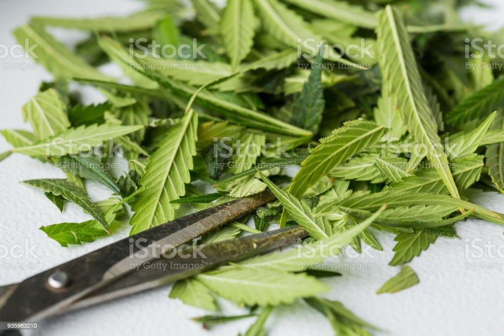 Close-up of a Cannabis Medical Marijuana leaves stock photo