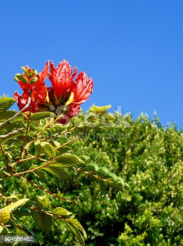 tecomaria capensis blossom in front of a blue sky