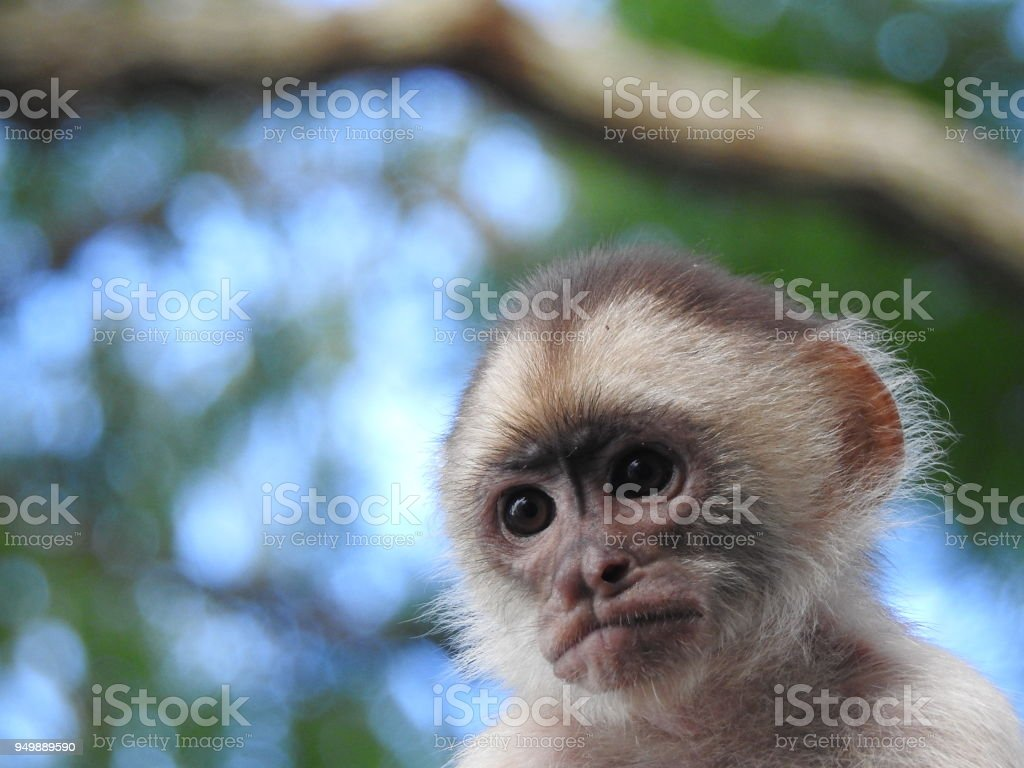 Closeup Of A Capuchin Monkey Face In The Amazon Rainforest