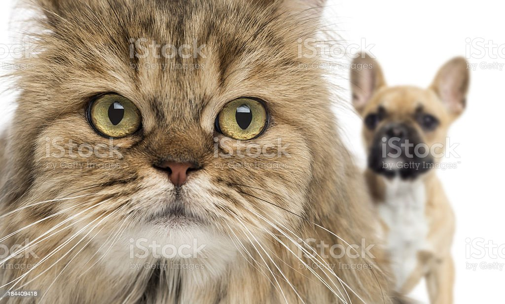 Close-up of a cat and dog hiding behind, isolated royalty-free stock photo