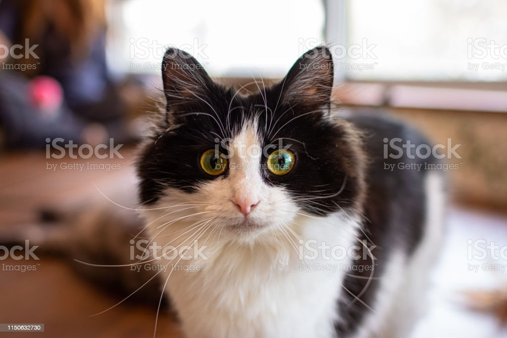 Close-up of a cat in a Tokyo cat cafe - Royalty-free Animal Stock Photo