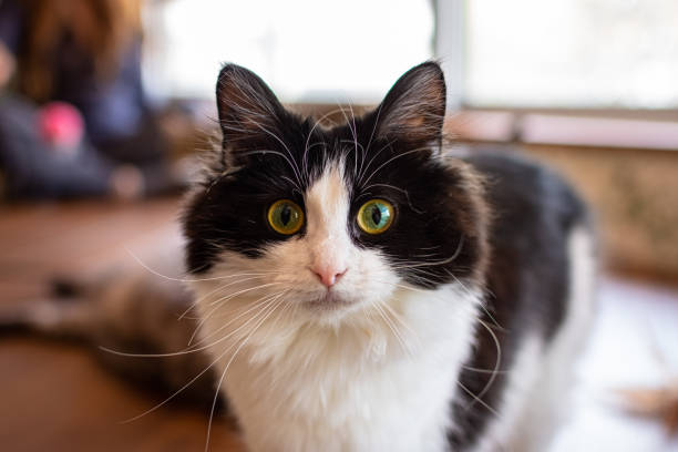Close-up of a cat in a Tokyo cat cafe stock photo