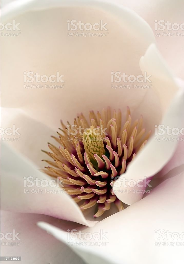 Close-up of a center of a magnolia royalty-free stock photo