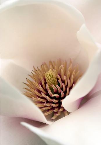 Herzen Von Magnolia Stockfoto und mehr Bilder von Farbbild