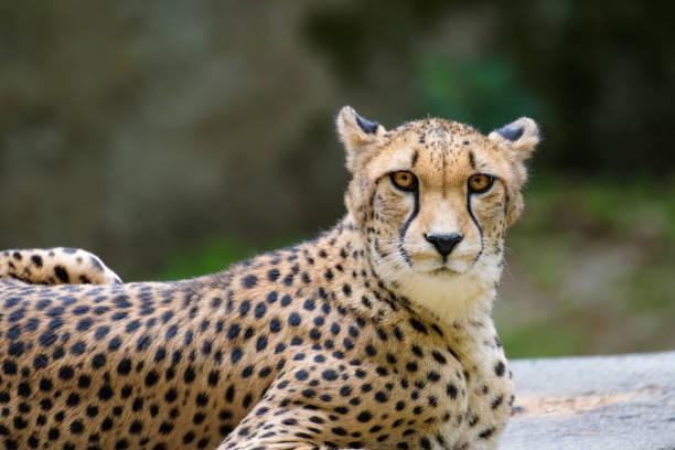 close-up van een cheetah - jachtluipaard stockfoto's en -beelden