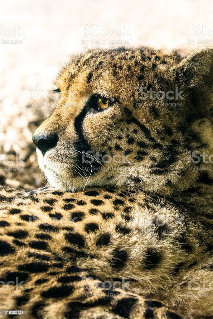 Close-up of a cheetah resting and looking away from camera stock photo