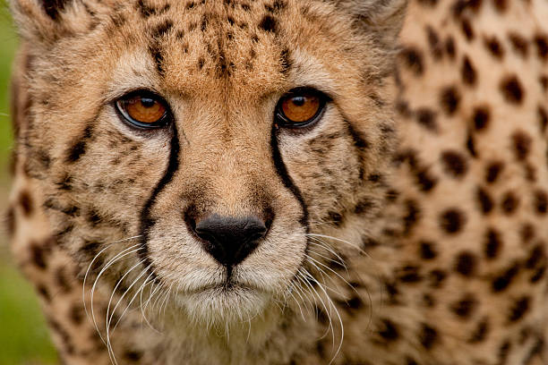 Top 60 Cheetah Print Stock Photos, Pictures, And Images