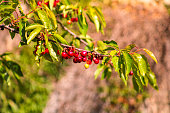 Bunch of red cherry on a branch in the sun in a garden