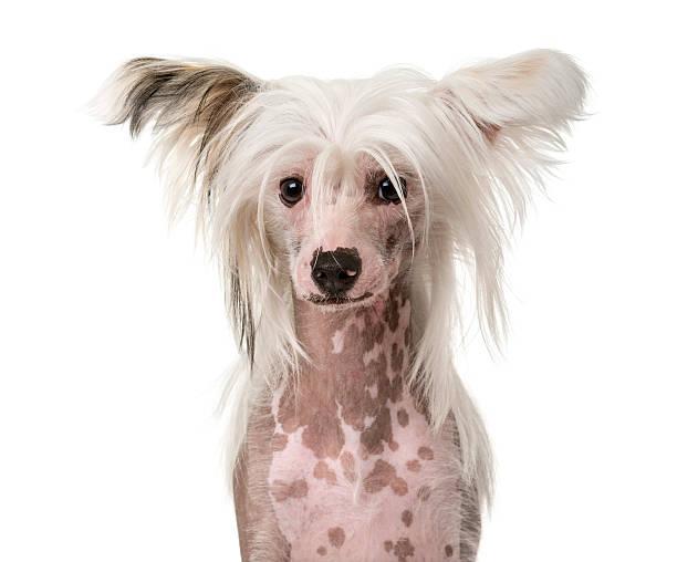 nahaufnahme eines chinesischer schopfhund - chinesische schopfhunde stock-fotos und bilder