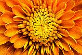 Extreme close-up of chrysanthemum petals.