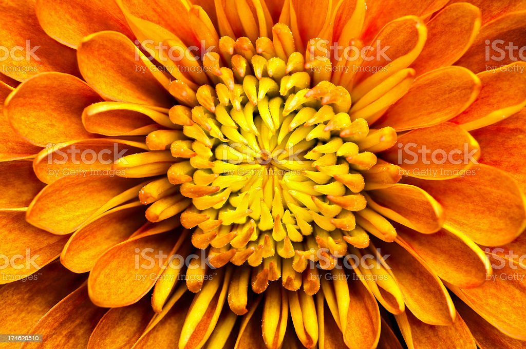 Closeup of a chrysanthemum centered in the frame stock photo