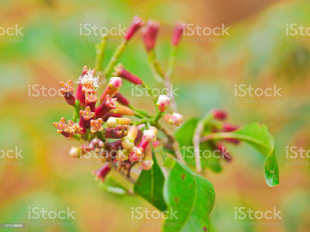 Close-up of a cloves plant in its earlier stage stock photo