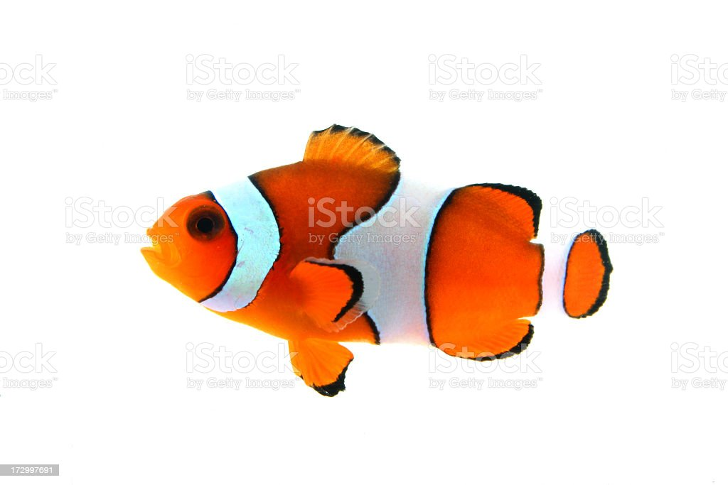 A close-up of a Clownfish on a white background royalty-free stock photo