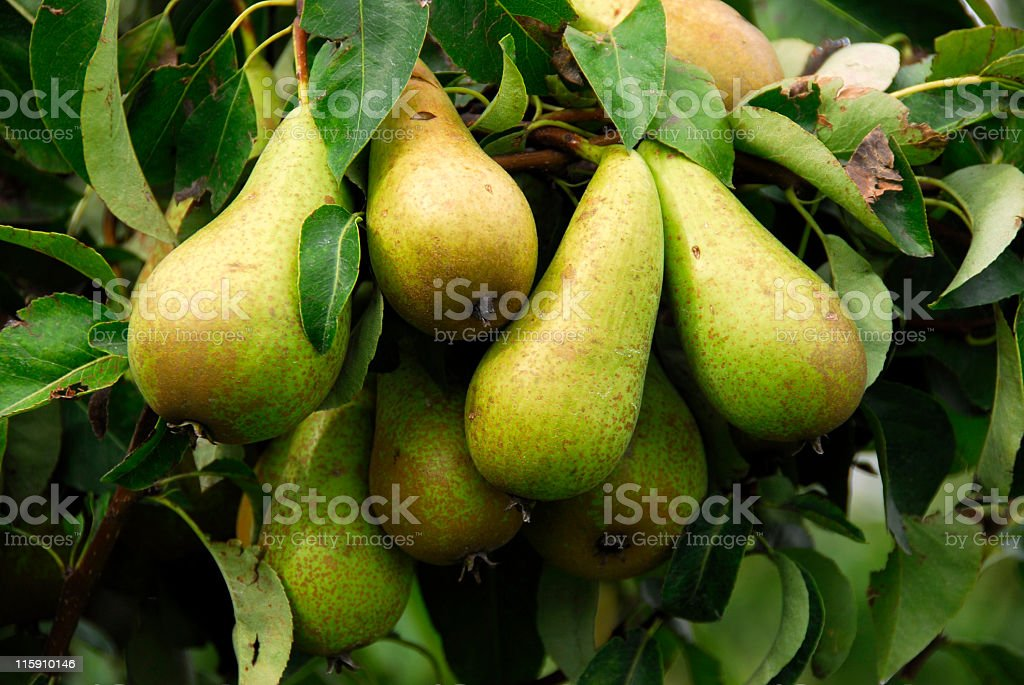Close-up of a cluster of ripe conférence pearson tree stock photo