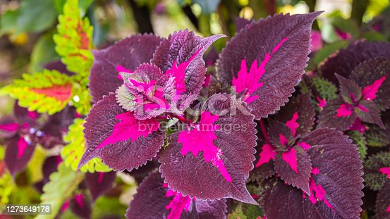 close-up of a coleus plant. Sun-tolerant coleus with patterned veins. A plant with colorful leaves, Also named as Solenostemon, Painted nettle, Flame nettle. Dark red green leaves of a coleus plant