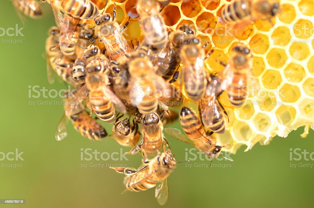 Close-up of a colony of bees on a honey comb stock photo