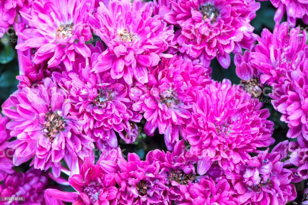 Close-up of a colorful dahlia in the garden. stock photo