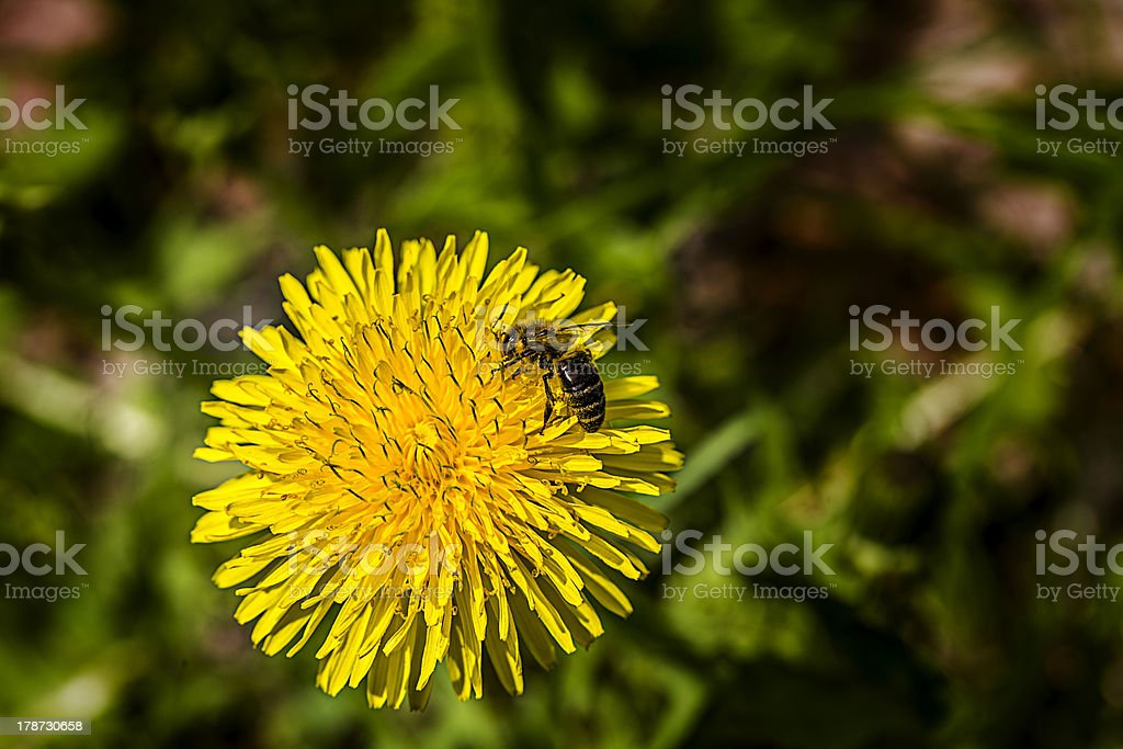 closeup of a common dandelion (taraxacum officinale) with  bee royalty-free stock photo