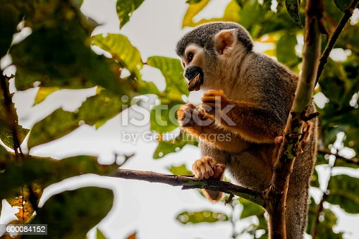istock Close-Up Of A Common Squirrel Monkey 600084152