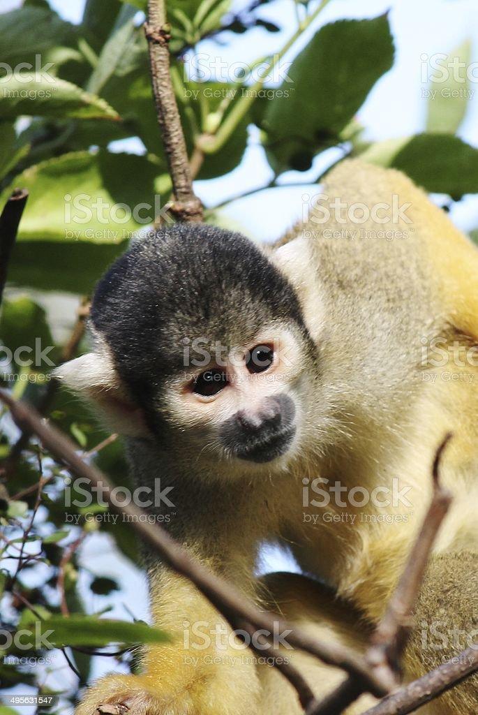 Close-up of a Common Squirrel Monkey- Saimiri sciureus royalty-free stock photo