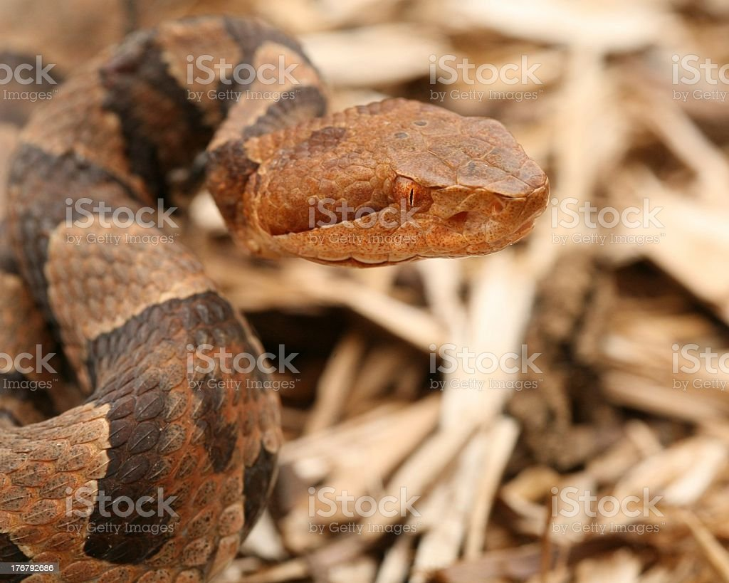 Close-up of a Copperhead stock photo