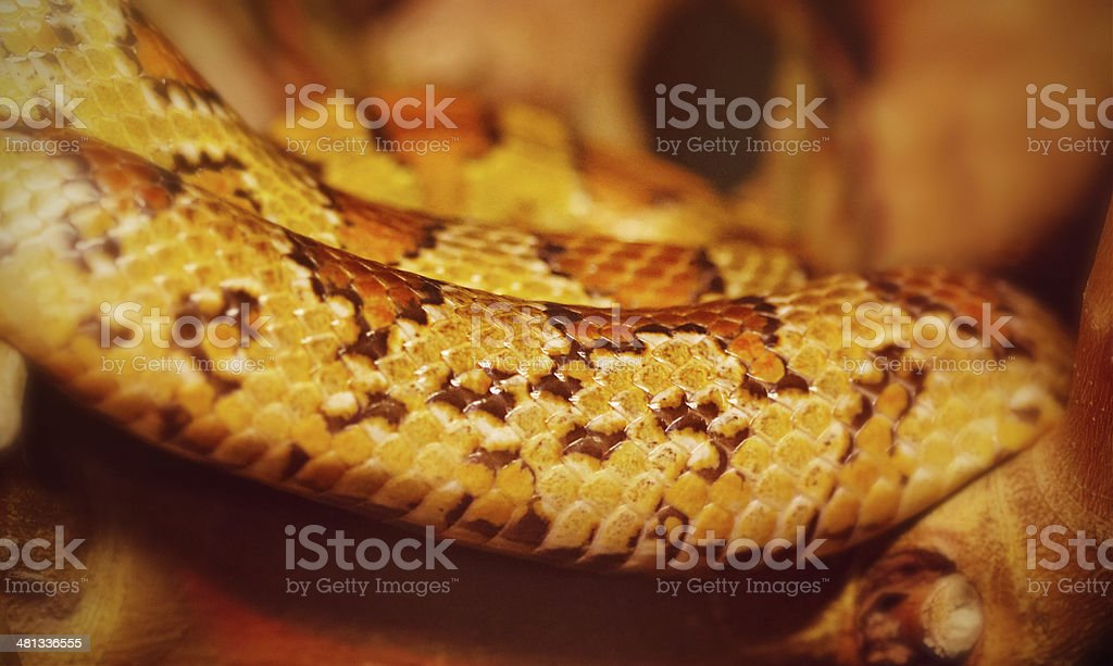 Closeup Of A Corn Snake Resting On A Branch stock photo