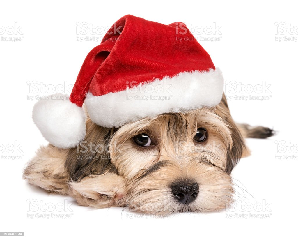 Close-up of a cute Christmas Havanese puppy dog stock photo