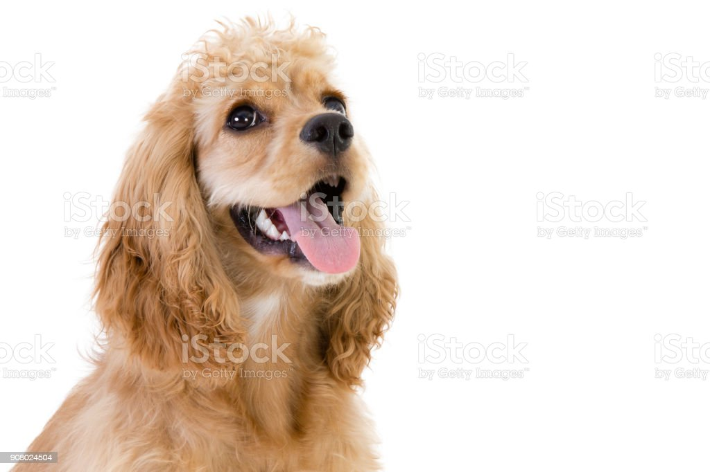 Close-up of a cute cocker spaniel looking up stock photo