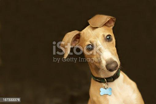 istock Close-up of a cute Italian greyhound with bone collar belt 157333376