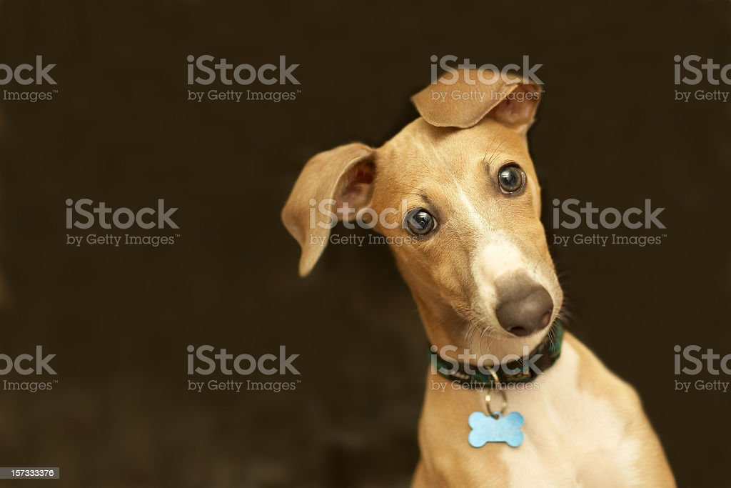 Close-up of a cute Italian greyhound with bone collar belt stock photo