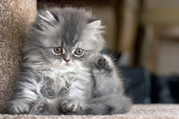Close-up of a cute kitten resting on a step Persian Kitten persian culture stock pictures, royalty-free photos & images