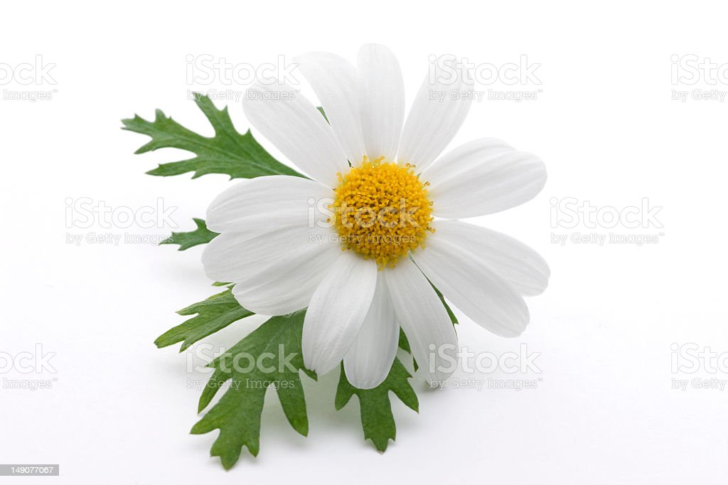 Close-up of a daisy with yellow middle and white petals royalty-free stock photo