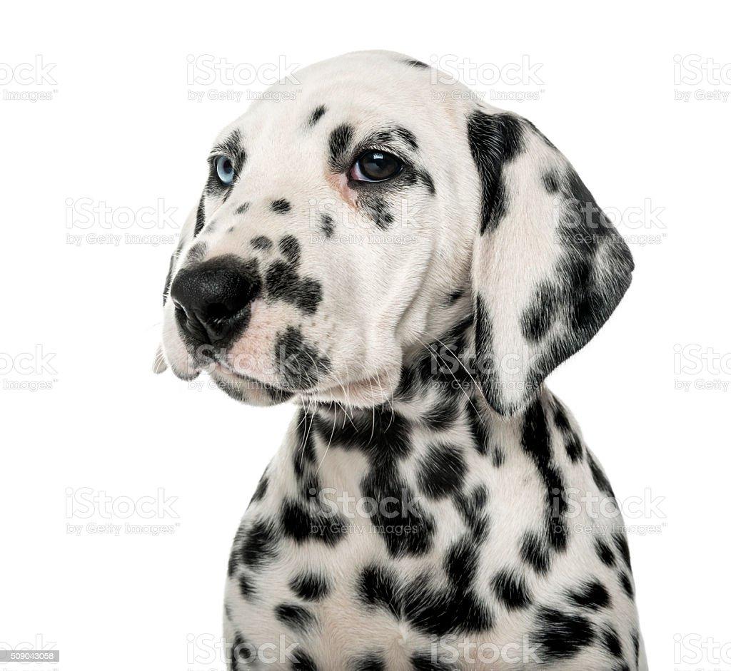 Primo Piano Di Un Cucciolo Di Dalmata Fotografie Stock E Altre