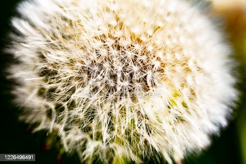 Close-up of a dandelion flower in a green meadow