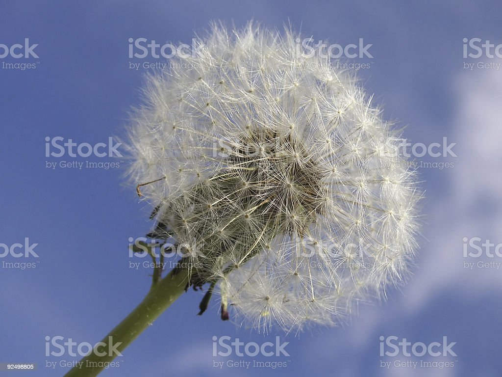 closeup of a dandelion seedhead royalty-free stock photo