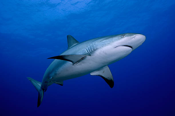 A close-up of a dangerous reef shark stock photo
