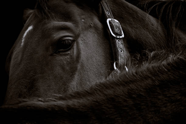 Close-up of a dark brown horse head with its bridle on black background Neuthard, Germany, 2019: Close-up portrait of a dark brown horse on black background stallion stock pictures, royalty-free photos & images