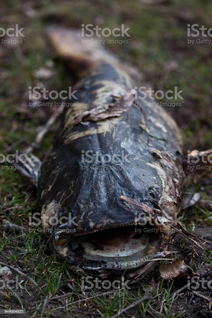 Nahaufnahme von einem toten Wels – Foto