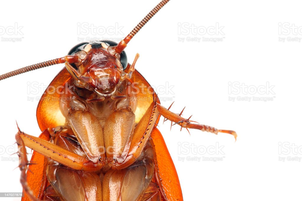 Close-up of a death cockroach over a white background stock photo