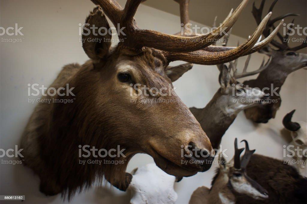 Close-up of a deer buck's head stock photo