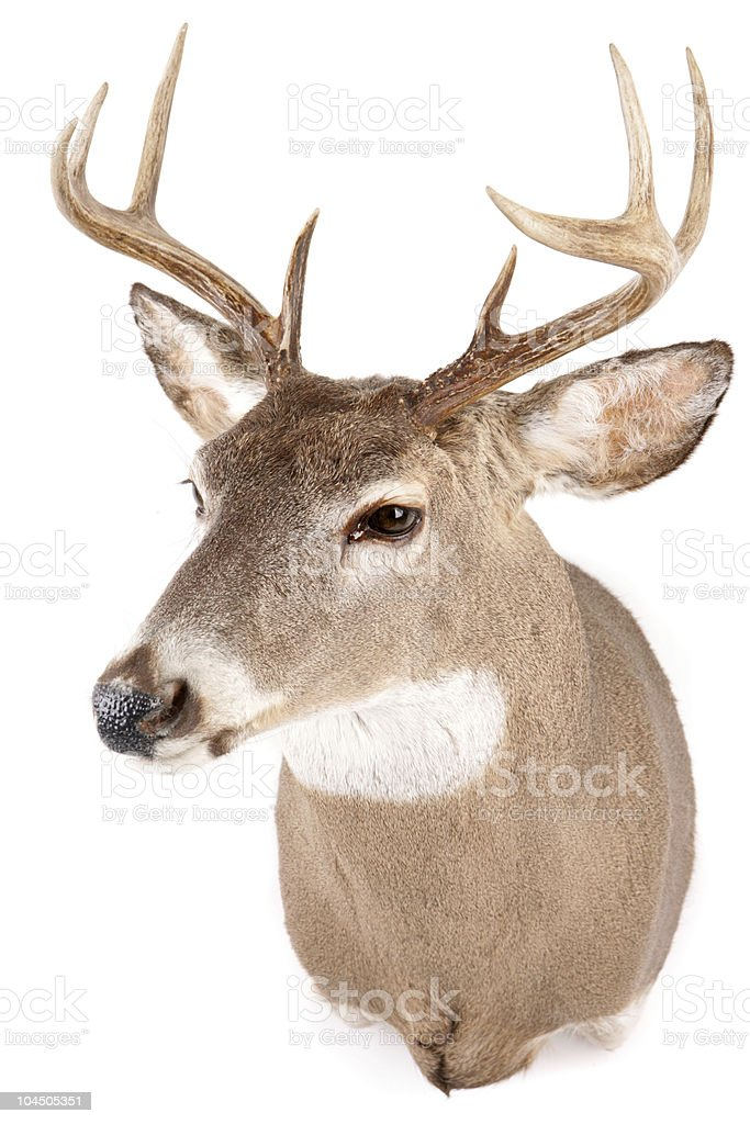 Close-up of a deer buck's head with small antlers royalty-free stock photo